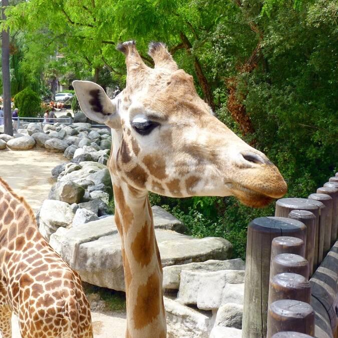 giraffen in de Zoo de la Palmyre © FDHPA 17